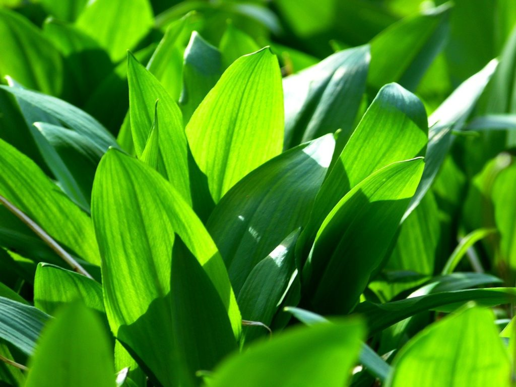 what does wild garlic look like?