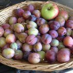The first of the plum harvest