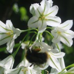 wild garlic and bee