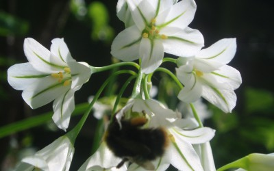 wild garlic and bee