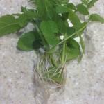 Mint cuttings