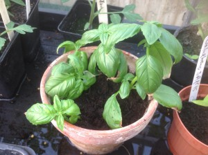 Basil cuttings