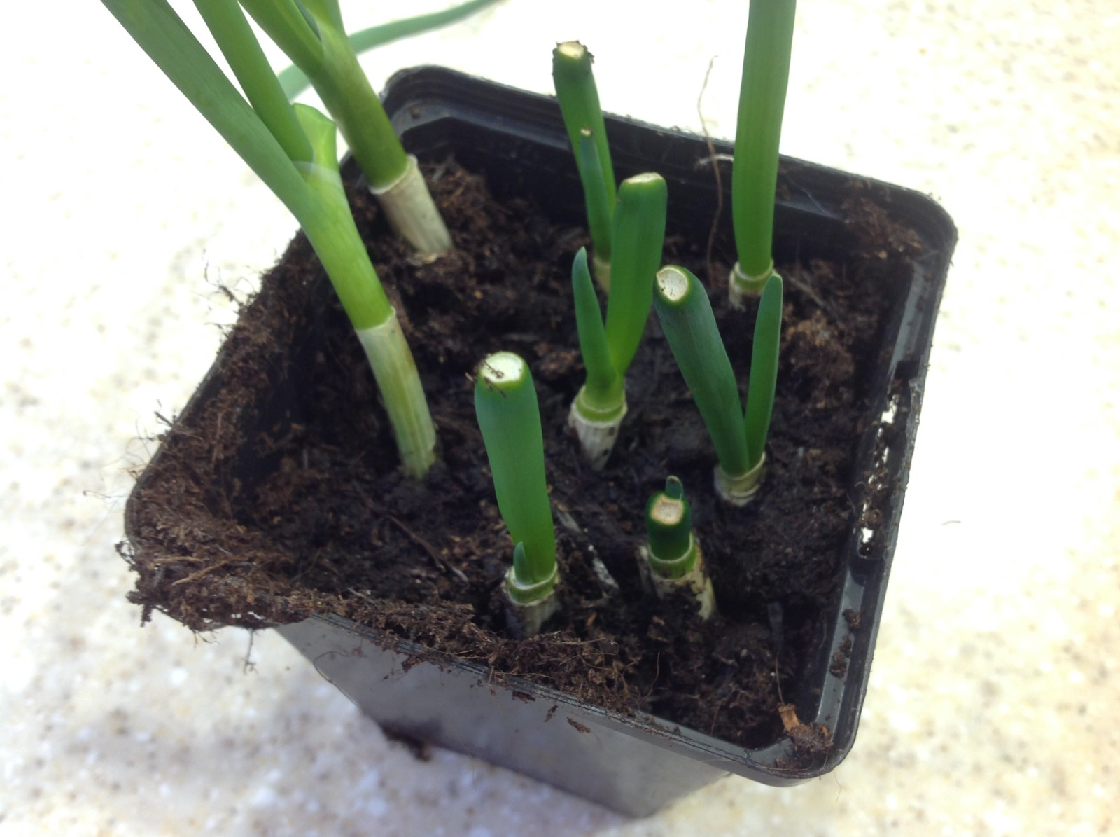 Regrowing spring onions