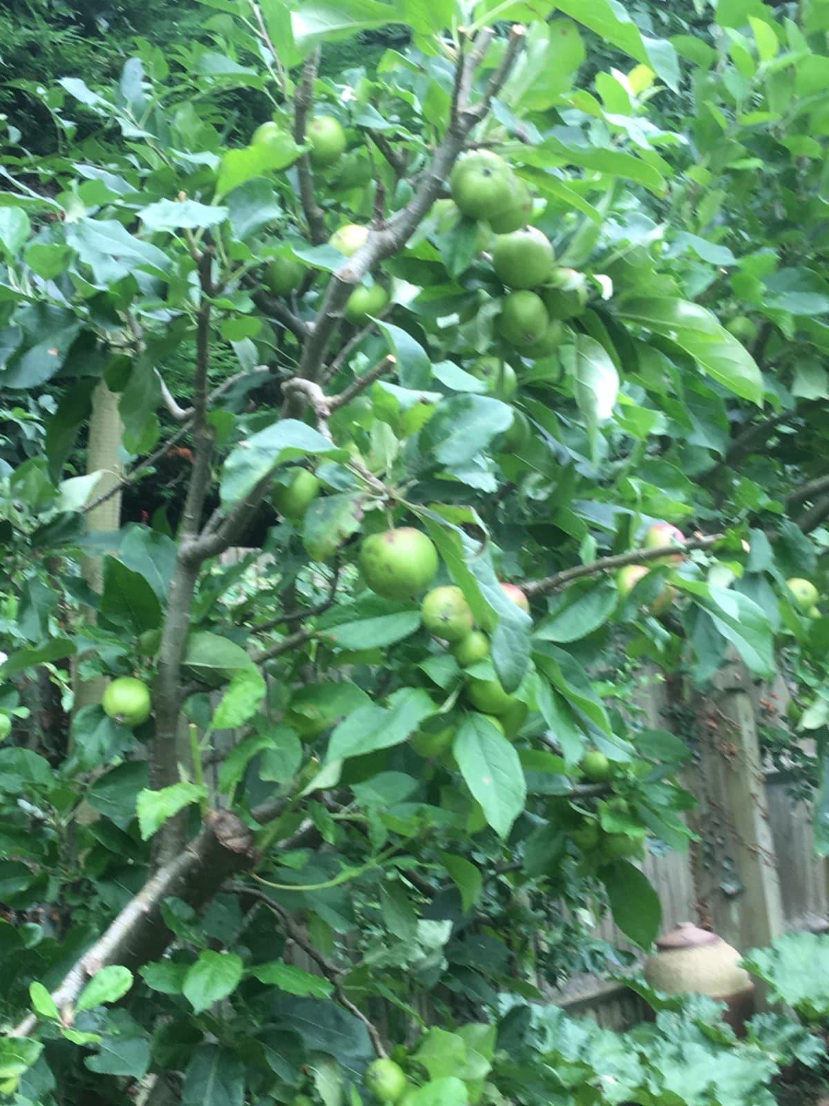 apples - variety scrumptious