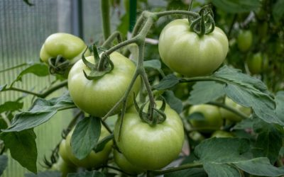 Green Tomato Recipes